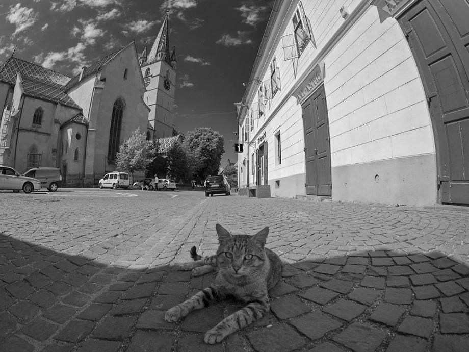 Pisica de Sibiu